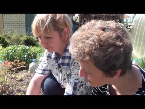 Подснежники в саду Пульсатилла, прострел или сон трава