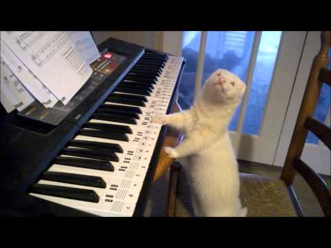 Talented ferret plays the piano