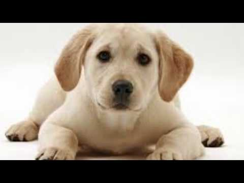 How to check labrador puppy is pure or mix  in hindi || dogs biography
