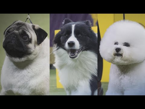 These Are the Fierce Top Contenders for the 2018 Westminster Dog Show