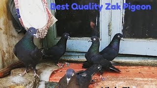 Pigeon for Sale ( zaag , zak, ) @ SA Pigeon Loft contact at 8356865561- SOLD OUT