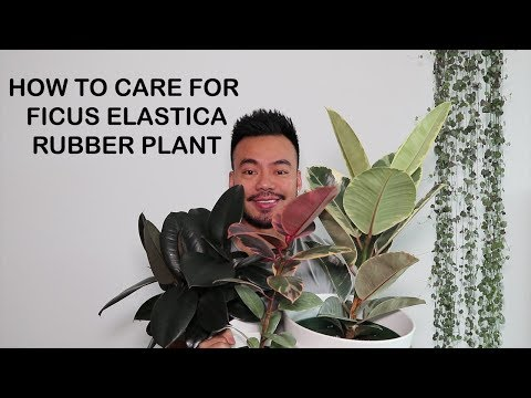 How to Care For Rubber Plant [Ficus Elastica] | Houseplant Care Tips