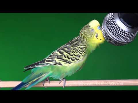 Прикольное видео.Волнистый попугайчик эстрадный певец