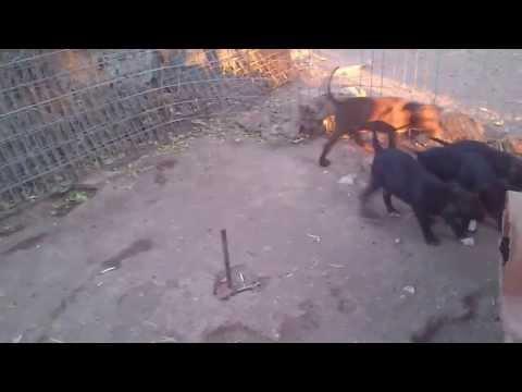 Pitbull puppies practise on Tug of War