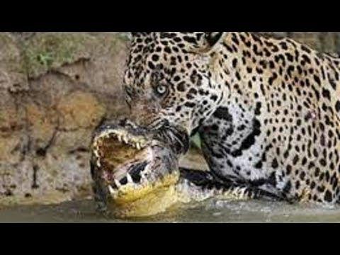 Leopard vs crocodile. Jaguar kills Cayman