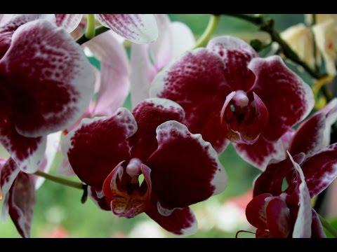 Орхидея сбросила все цветы .Цветы вянут и опадают.