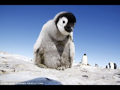 The end of the emperor penguin? Study warns animals won't be able to adapt to climate chage