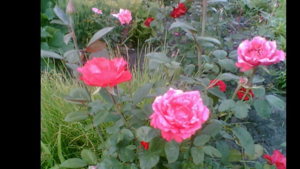 Эти розы тебе я дарю