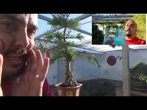 Araucaria Bonsai - Actualización y adiós