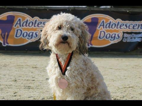 Rafferty - Cavapoo - 3 Weeks Residential Dog Training