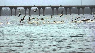 hundreds of cormorants and pelicans Thumbnail