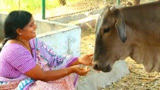 Why Cow Is Holy In India?