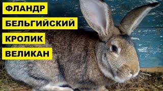 Разведение кроликов породы Бельгийский Великан Фландр как бизнес идея | Кролик Бельгийский Великан