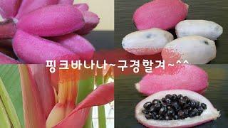 핑크 벨벳 바나나/핑크바나나/각종열대식물 바나나/Pin…