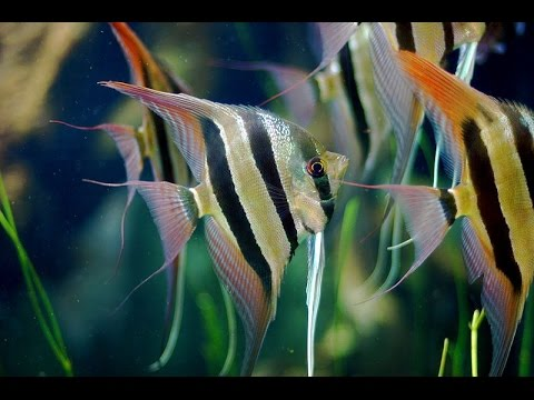 Popular Angel Fish Types