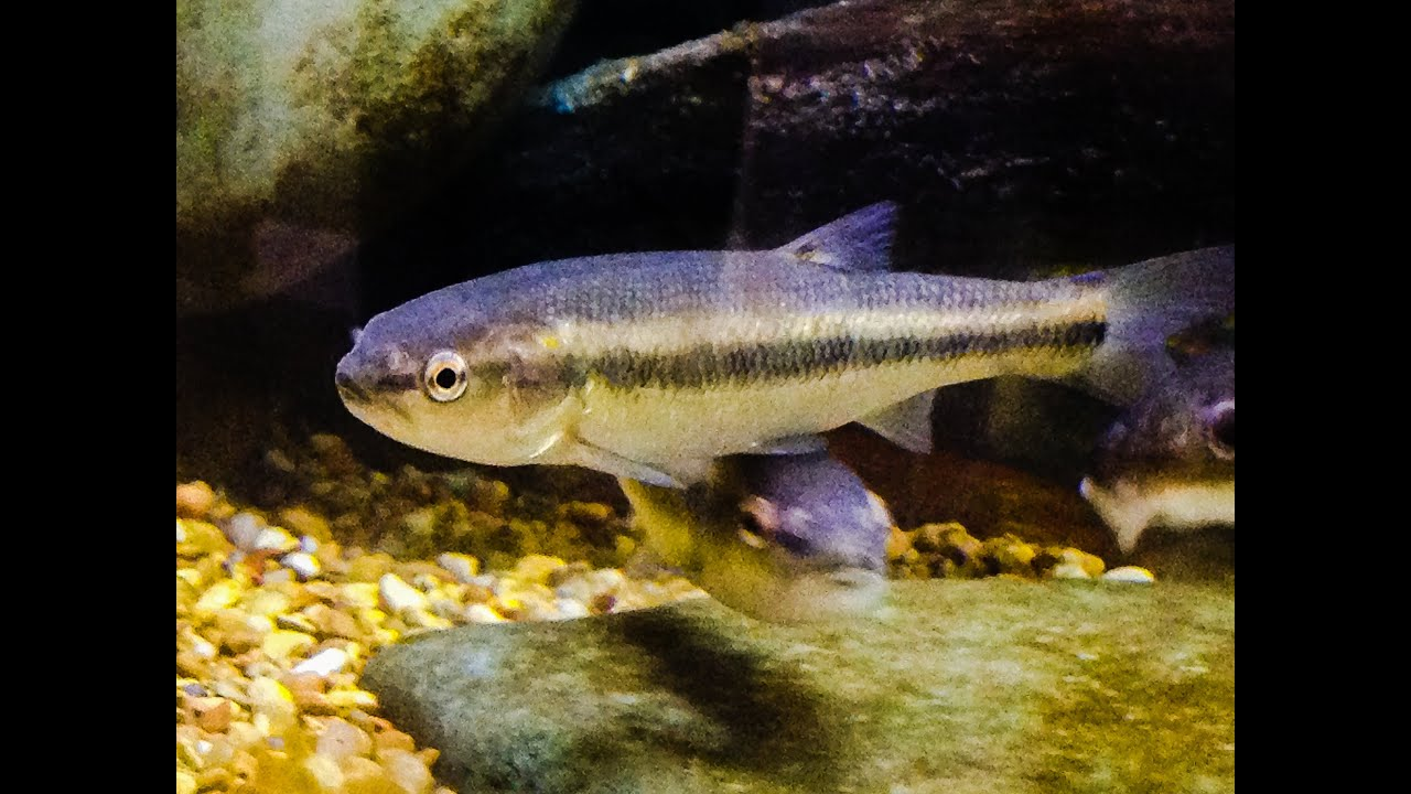 Native Fish Care: Creek Chub - YouTube