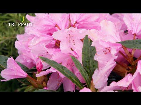 Comment tailler un rhododendron ? - Jardinerie Truffaut TV