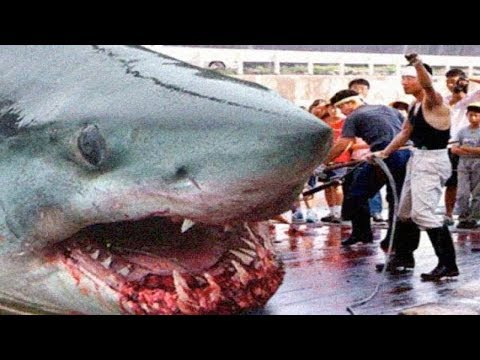 THE BIGGEST GREAT WHITE SHARKS Ever !