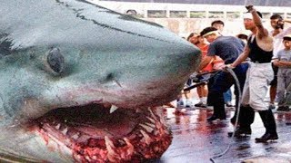 THE BIGGEST GREAT WHITE SHARKS Ever ! streaming