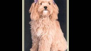 Cockapoo ~ Puppies For Sale, By Pets4you.com