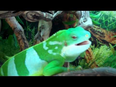 My Rare Fiji Iguana loves singing Ramones!