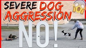 My Dog is Aggressive towards other dogs! Help! - Dog Training with Americas Canine Educator