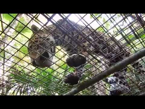 Belize Zoo 2014 Jaguar Encounter