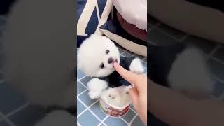 Cute puppy in icecream cup  #shorts #animallover # cutebabies #whatsapp status #tiktok #Doglove