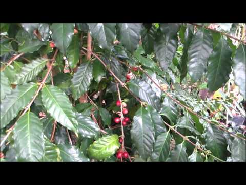 Growing Coffee in Florida