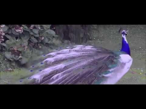 sairat  movie story of jangle music
