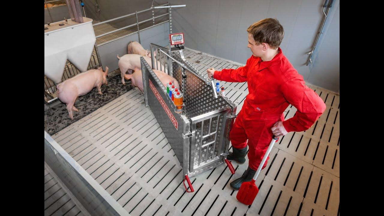 Single pig scale