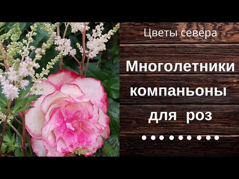 Вопрос: Какие есть розы белого цвета, цветущие все лето?