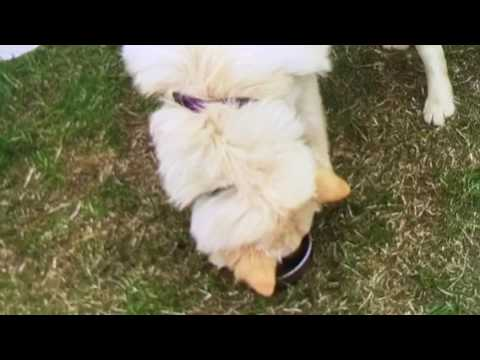 Finnish Lapphunds play!🐶