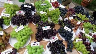 ⭐Выставка винограда в г. Пинске, 9-10 сентября 2017 г. Беларусь.