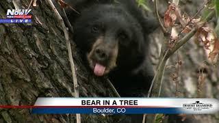Bears in a tree in Boulder, Colorado 🐻 (FNN)