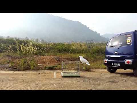 Montie Kakatua Jambul Kuning free fly ( Sulphur crested Cockatoo )