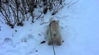 にたろう (West Highland White Terrier / Westie) ウエストハイランド...