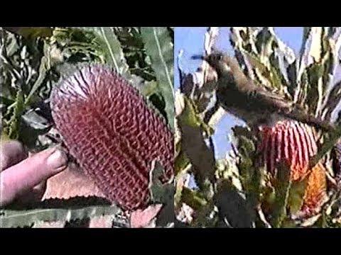 Australian Plants in the Millennium Seed Bank - ABC News