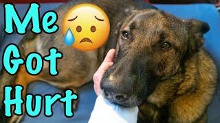 German Shepherd Got Hurt and Had to Visit the Vet!