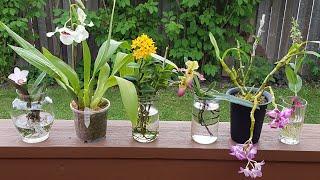 兰花水培-七月底盛开的兰花