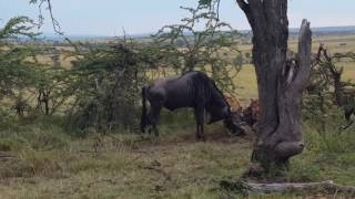 wildebeest stuck together eaten alive