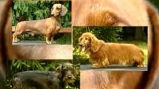 Собаки от А до Я   Таксы