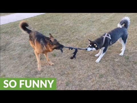 Tug-of-war battle of wits: Alaskan Malamute vs. German Shepherd