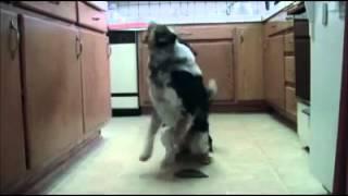 Супер дрессированная собака :-D