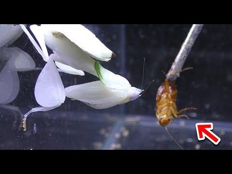 ハナカマキリがゴキブリを捕食する瞬間!