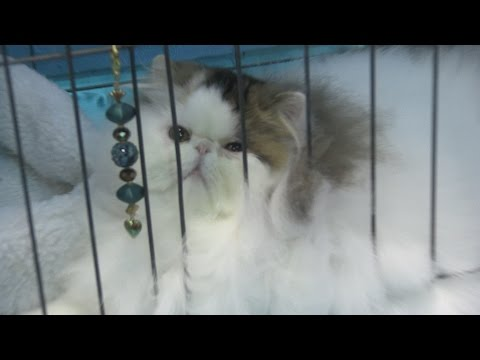 CFA Cat Show 2016 - Glendale, California
