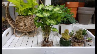 [공기정화식물] 싱고니움 수경재배 화분 만들기