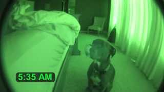 Download Pitbull Alarm Clock with Snooze Feature (cute dog) Mp3 and Videos
