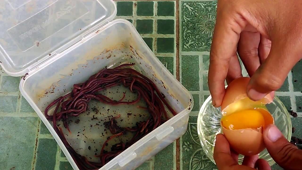 Sudah Terbukti Umpan Joss Ikan Lele Bahan Cacing Tanah Belajar Mancing 24 Youtube