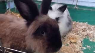 Кролики. Бурый кастрированный мальчик и девочка в хорошие руки